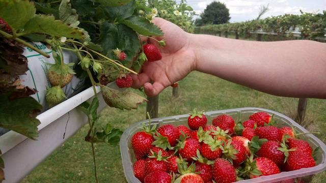 Cueillir des fraises à Seresville