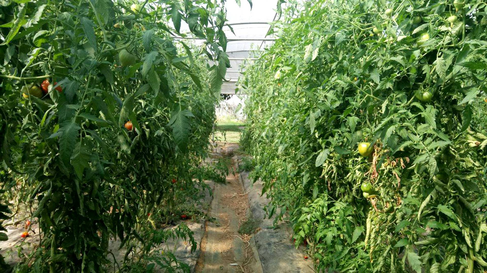 Tomato greenhouse at the cueillette de Seresville