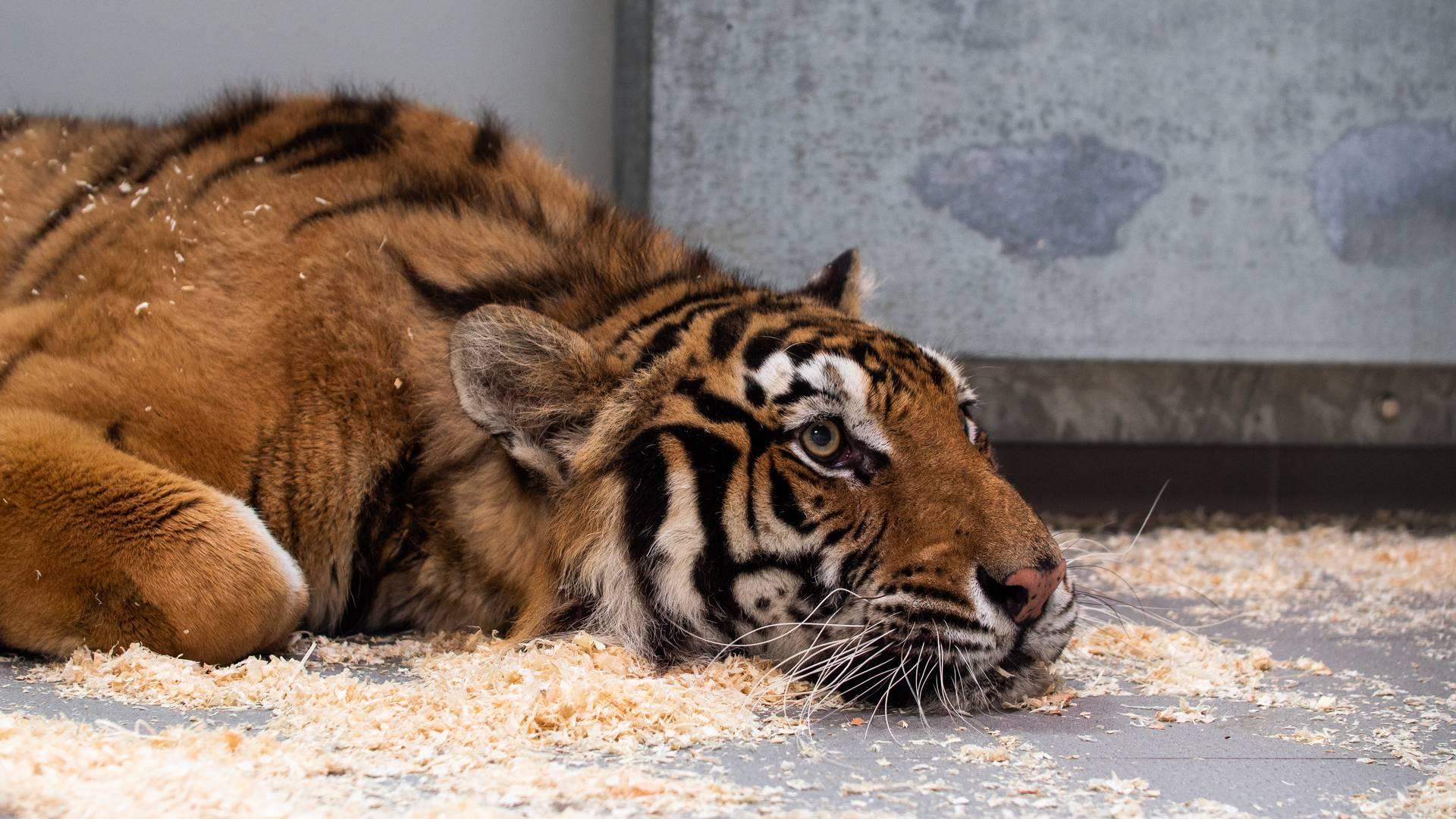 Portrait d'une tigresse