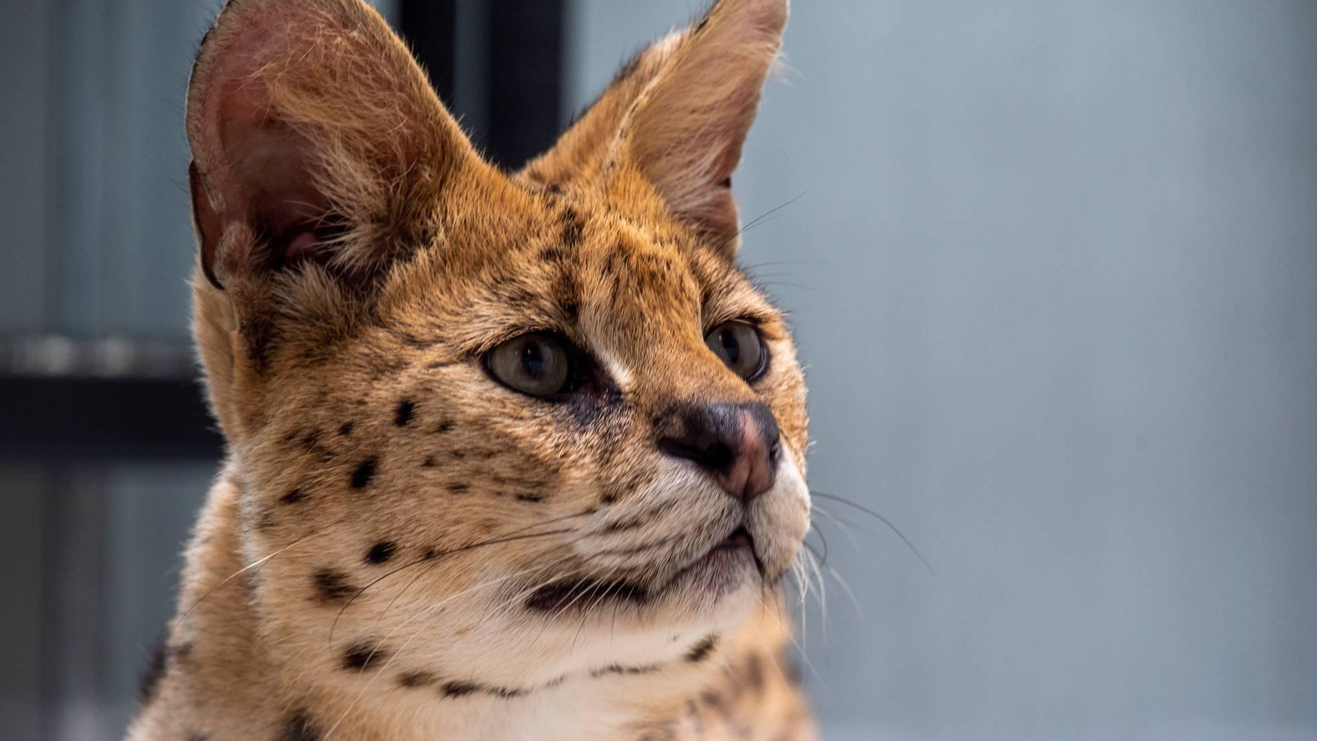 Portrait d'un serval